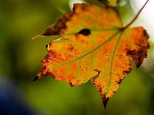 autumn-leaf-jim-delillo