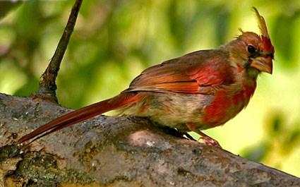 northern_cardinal_8